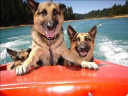 dogs get hot in summer - three shepard dog cooling down in a boat