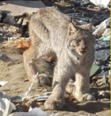 Lynx cat in the Oliver, BC landfill